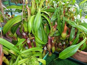 Photo: Nepenthes alata