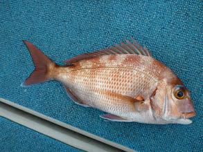Photo: 真鯛キャッチ! いつもの場所より小ぶりです。