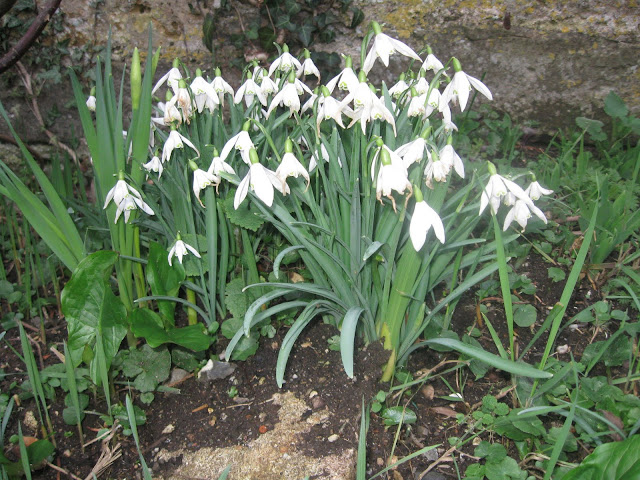 Snowdrops in Dorset: February 2011