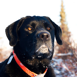 Abe by Michael Gailey - Animals - Dogs Portraits ( winter, alaska, snow, hunting, mastiff, labstiff, labrador, dog )