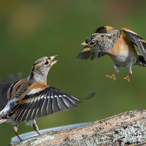 Brrgfinkar by Michael Pelz - Animals Birds