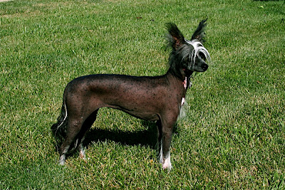 Moderate Hairless May Have Fine Hair On Body Other Than Head Feet And Tail Generally Occurring The Spine Or Hindquarters