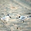 Sandwich Terns