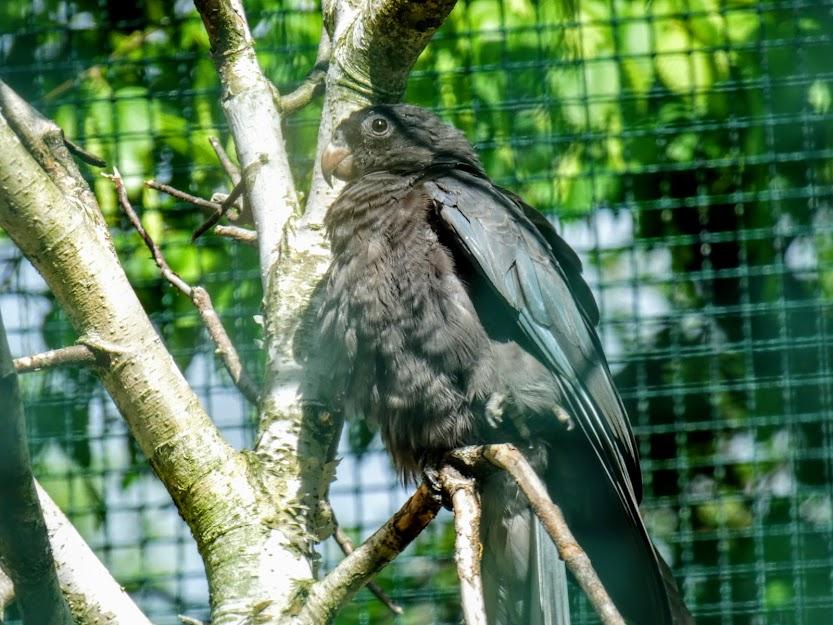Czarna papuga