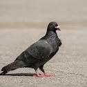 black dove 黑鴿