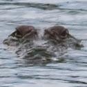 Mugger Crocodile, marsh crocodile, Freshwater Crocodile