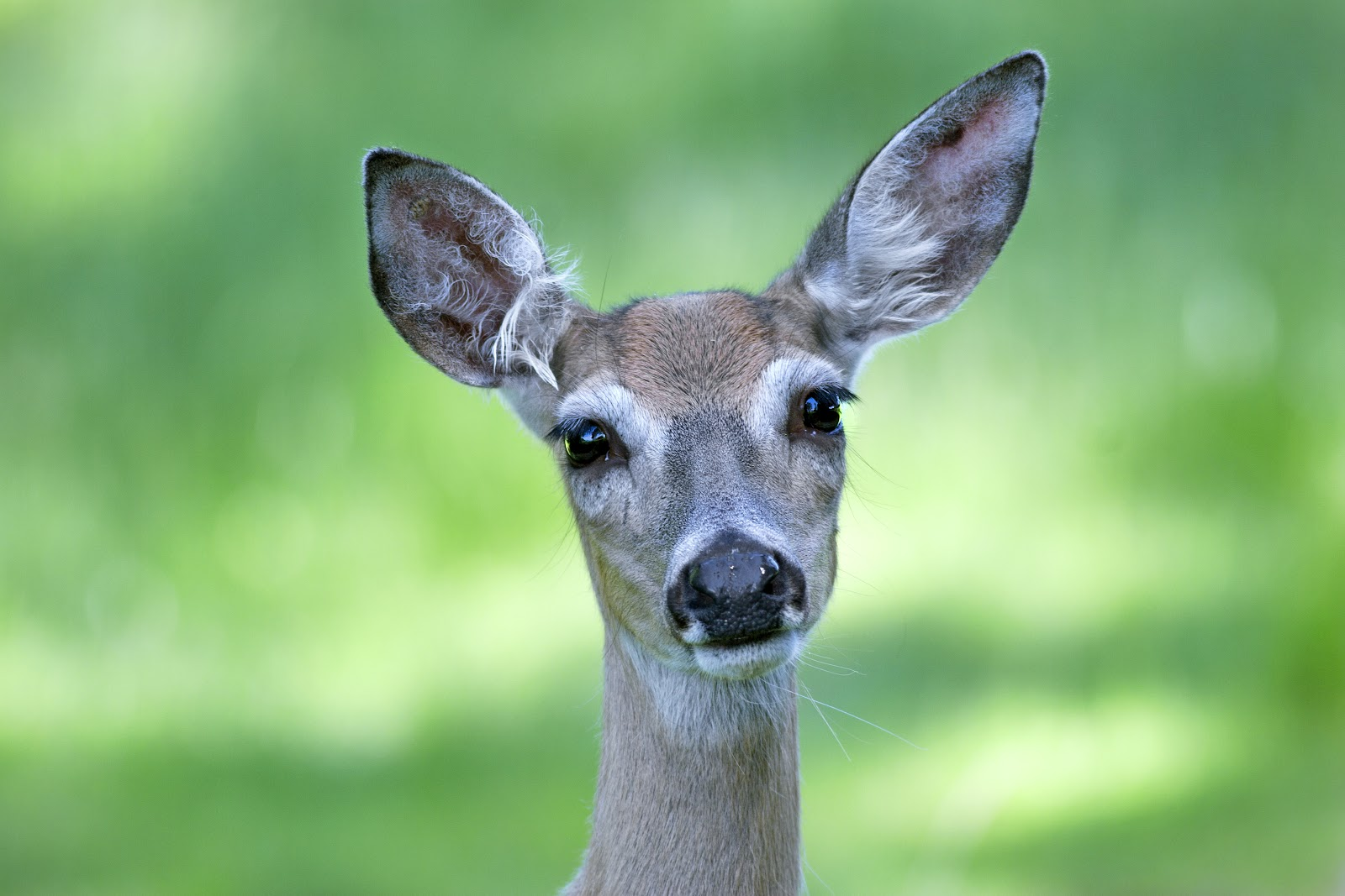 white-tailed doe portrait