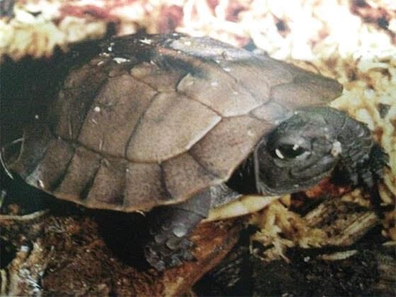 Arakan Forest Turtle