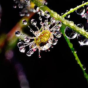 Sundew after rain 2.jpg