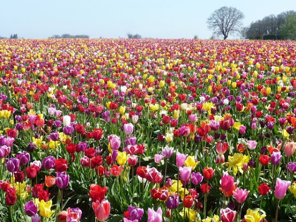 Wooden Shoe Tulip Farm – Tulip Festival