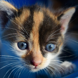 by Patricia Vlad - Animals - Cats Kittens (  )