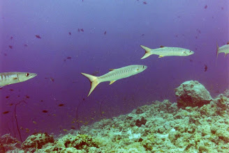 Photo: #014-Barracudas