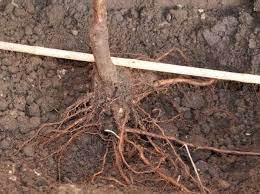 Установка кустарника в посадочную яму