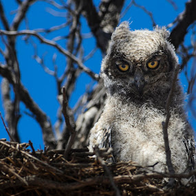 Juvenile Spotted Eagle Owl by Arend Van der Walt - Animals Birds ( spotted, eagle, south africa, owl, transfrontier park, kgalagadi, juvenile )