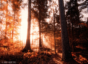 Photo: Forest Fire  Good Morning G+  This is one of my favourite local forests called Delemere in Cheshire. A place I spend a lot of time wandering around, this morning had been an early start but a little too early. I had to wait for almost an hour for the sun to come up but decided to wader a round in the dark while I waited. If you have never been in a remote spot in the dark I suggest you try it.  I sat listening to the night owls getting ready to roost and the dawn as it woke, its such a wonderful place to be, its almost like being in a zen state as the light slowly starts to filter through the trees and the crescendo of the dawn chorus picks up. You get to sit there as this all slowly opens up in front of you.