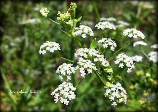 Photo: Conium MACULATUM (umbelliferae) Οροπέδιο Λιμνάκαρου (1225μ.)  ΚΩΝΕΙΟ ΤΟ ΣΤΙΚΤΟ. Πρόκειται για το πιο διάσημο σκιαδανθές και δηλητηριώδες φυτό με το χυμό του οποίου θανατώθηκε ο φιλόσοφος Σωκράτης.Το Κώνειο το στικτό είναι φυτό ποώδες, διετές, που φτάνει σε ύψος τα 2 μέτρα. Φυτρώνει σε σκιερά μέρη. Τα φύλλα του είναι γυαλιστερά έχουν μακρύ μίσχο, είναι λοβωτά και πολυσχιδή και μοιάζουν κάπως μ΄ αυτά του μαϊντανού. Τα άνθη είναι μικρά και εμφανίζονται σε σκιάδιο από τον Ιούνιο μέχρι τον Αύγουστο. Ο βλαστός συχνά έχει χνούδι με κυανή χροιά ενώ η ρίζα είναι ατρακτοειδής και λευκή. Ο καρπός είναι μικρός, ωοειδής με φαιό ή πρασινωπό χρώμα. Είναι πολύ δηλητηριώδες φυτό. Τα φύλλα και τα σπέρματά του τώρα πλέον σπάνια χρησιμοποιούνται στη φαρμακευτική ειδικά μάλιστα στην Ευρώπη. Ο καρπός του συγχέεται μ΄ αυτόν του γλυκάνισου ή του μάραθου παρά την εμετική οσμή ποντικού που έχει. Η διάγνωση της δηλητηρίασης από Κώνειο δεν είναι εύκολη. Αν ο ασθενής δε χάσει τη ζωή του τότε συνήθως μένει παράλυτος ή με μυϊκή αδυναμία.