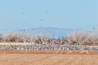 Photo: Bernardo Wildlife Management Area, one of the wintering areas for sandhill cranes and snow geese is Bernardo Wildlife Management Area, is located about 45 miles north of Bosque del Apache.