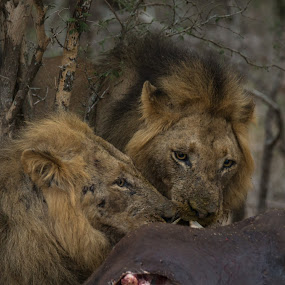 Sharing a meal by Dawie Nolte - Animals Lions, Tigers & Big Cats ( cats, lion, buffalo, big cats, lions eating, african lion, lions, lion kill, africa,  )