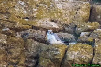 Photo: Lanario | Falco biarmicus erlangeri | Lanner