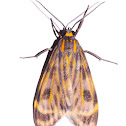 Eucereon Tiger Moth