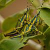 Milkweed locust / Painted grasshopper