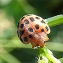 Philippine ladybeetle