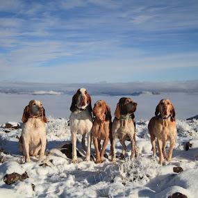 My Braccos Italiano by Ralph MInnitte - Animals - Dogs Portraits ( animal snow  )