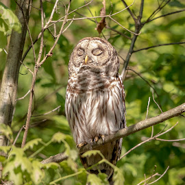 Sleepy Barred Owl by Debbie Quick - Animals Birds ( barred owl, raptor, debbie quick, owl, nature, debs creative images, new york, birds of prey, outdoors, bird, animal, millbrook, cary institute of ecological studies, wild, hudson valley, wildlife,  )