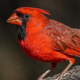 mr. cardinal by Mike Craig - Animals Birds