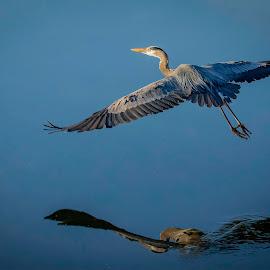 BLUE ON BLUE by Dana Johnson - Animals Birds ( waterfowl, great blue heron, reflection, animals, birds, heron, water )