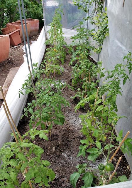 tomaten 2011 aussaat und pflanzung. Black Bedroom Furniture Sets. Home Design Ideas