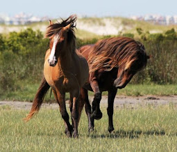 Photo: The best way to protect the local island horses is by keeping your distance and letting them carry out their natural wild behaviors. If a horse approaches you, be very still and let it pass. This photo was taken with a zoom lens.