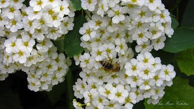 Photo: Cununita Floarea miresii (Spirae) -  de pe Calea Victoriei - 2015.05.15 album: http://ana-maria-catalina.blogspot.ro/2016/04/cununita-floara-miresei-spirea.html