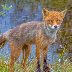 Fox by Benny Høynes - Animals Other ( fox, colorful, autumn, norway, animal,  )