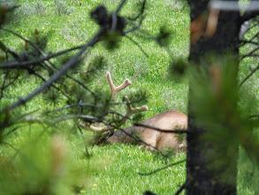Photo: Another sleepy elk