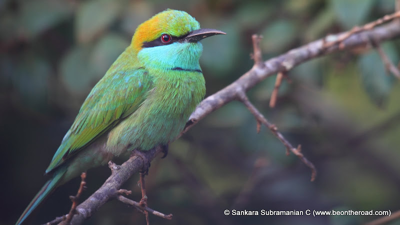 Green Bee Eater - 1