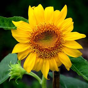 SUNFLOWER by SANGEETA MENA  - Flowers Flowers in the Wild (  )