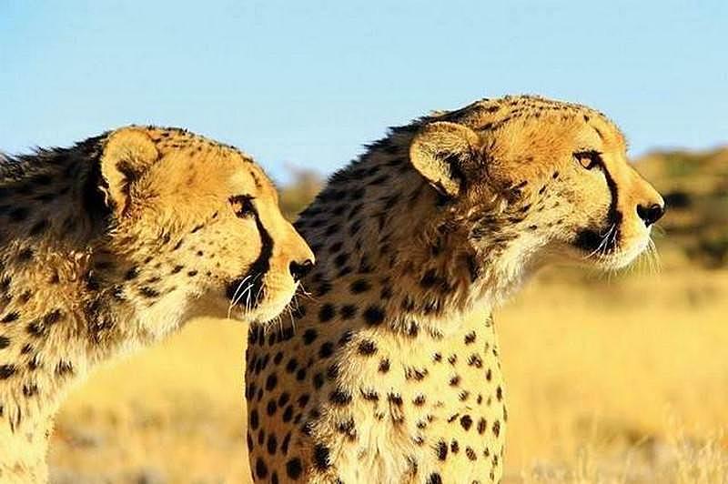 Etosha-cheetah-stare.jpg