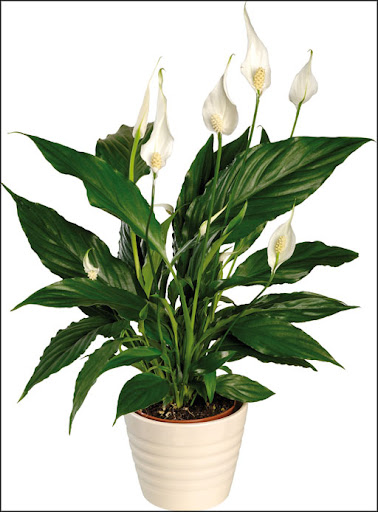 lily house plants purify indoor air