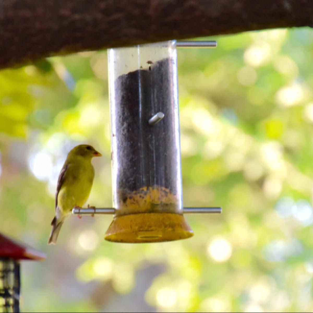 American Goldfinch (female, breeding plumage)
