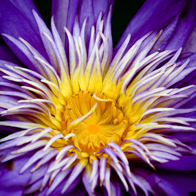 Water Lily by Mary Wright - Flowers Single Flower ( floral, nature, yellow, flora, spring flower, summer, flower, spring, blue, white, floral photography, purple, garden, water lily, summer flower,  )