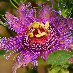 Passiflora incense.jpg