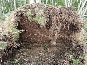 倒木の根は浅く