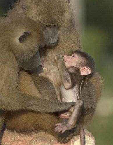 Baboon Guinea bisa jadi menguap karena darah mereka yang kental, sebab ...