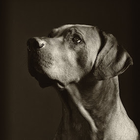 Fogo I by Anita Meis - Animals - Dogs Portraits ( ridgeback, sepia, rhodesian ridgeback, african, low key, black and white, male, dog, rhodesian, lion dog, portrait )