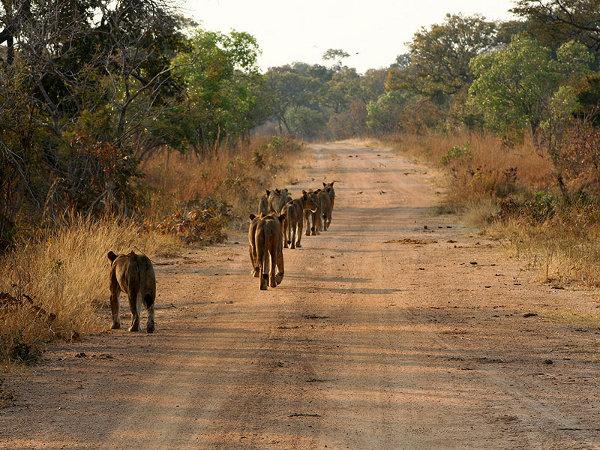 Львы, идущие по дороге