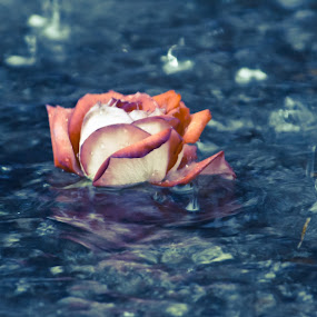 Floating Rose by Gregg Eisenberg - Nature Up Close Flowers - 2011-2013 ( rose, puddle, rain, flower )