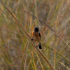 African stonechat or common stonechat