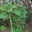 Bitle leaf