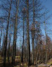 Photo: There's a Black-backed Woodpecker in there somewhere. High Intensity fire in a former pine plantation. Rooster Rock Burn.